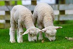 sheep-50914_150